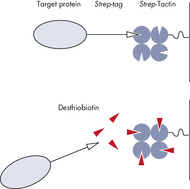 Binding of Strep-tagged proteins to Strep-Tactin and elution using desthiobiotin.